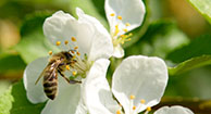 Bee Sting Allergy: Symptoms of Anaphylaxis