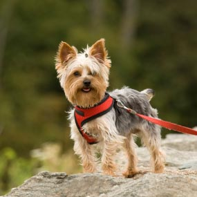 Yorkshire Terrier Kidney Failure 12 Common Dog Breeds &...