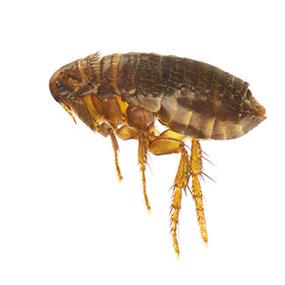 What do flea bites look like?