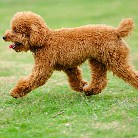 A hypoallergenic dog walks...like a boss.