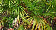Does Saw Palmetto Affect Testosterone?