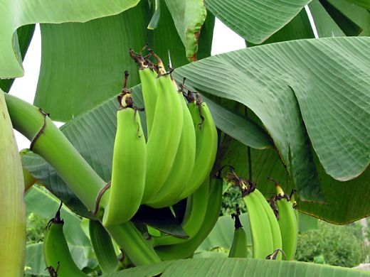 Plantains ready to pick