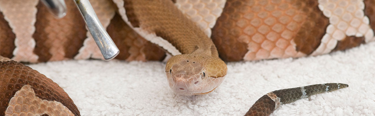 Cottonmouth Snake Bite On Human