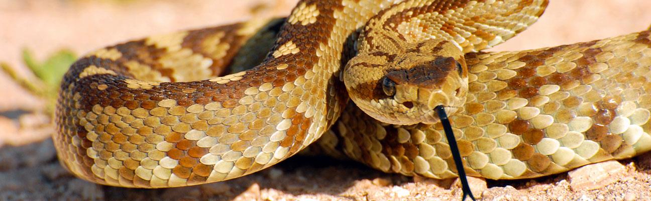 rattlesnake bite