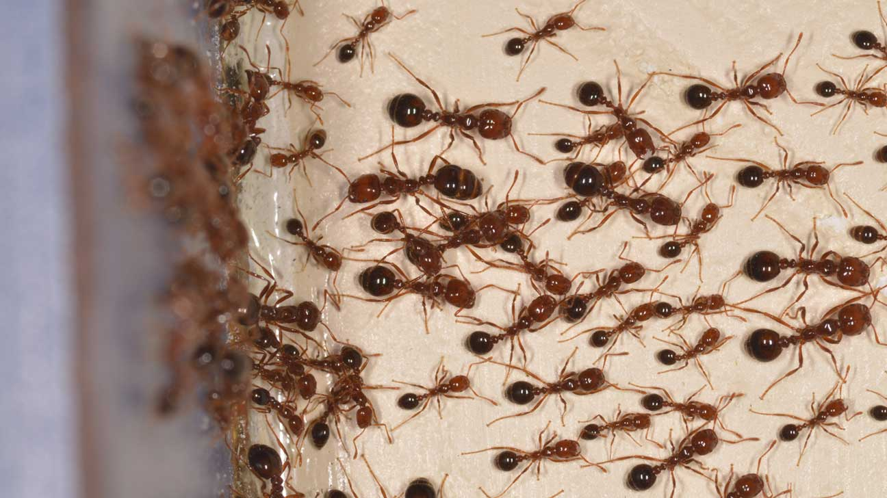 how to kill fire ants with borax