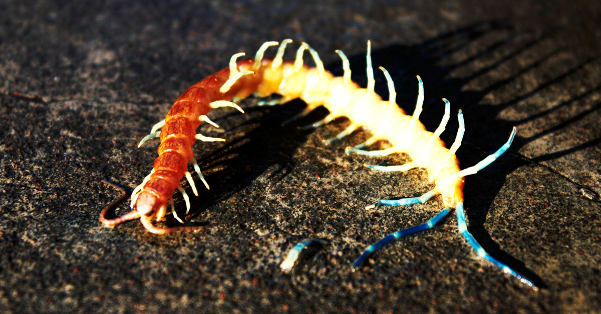 Centipede Bites: Pictures, Symptoms, First Aid, and More