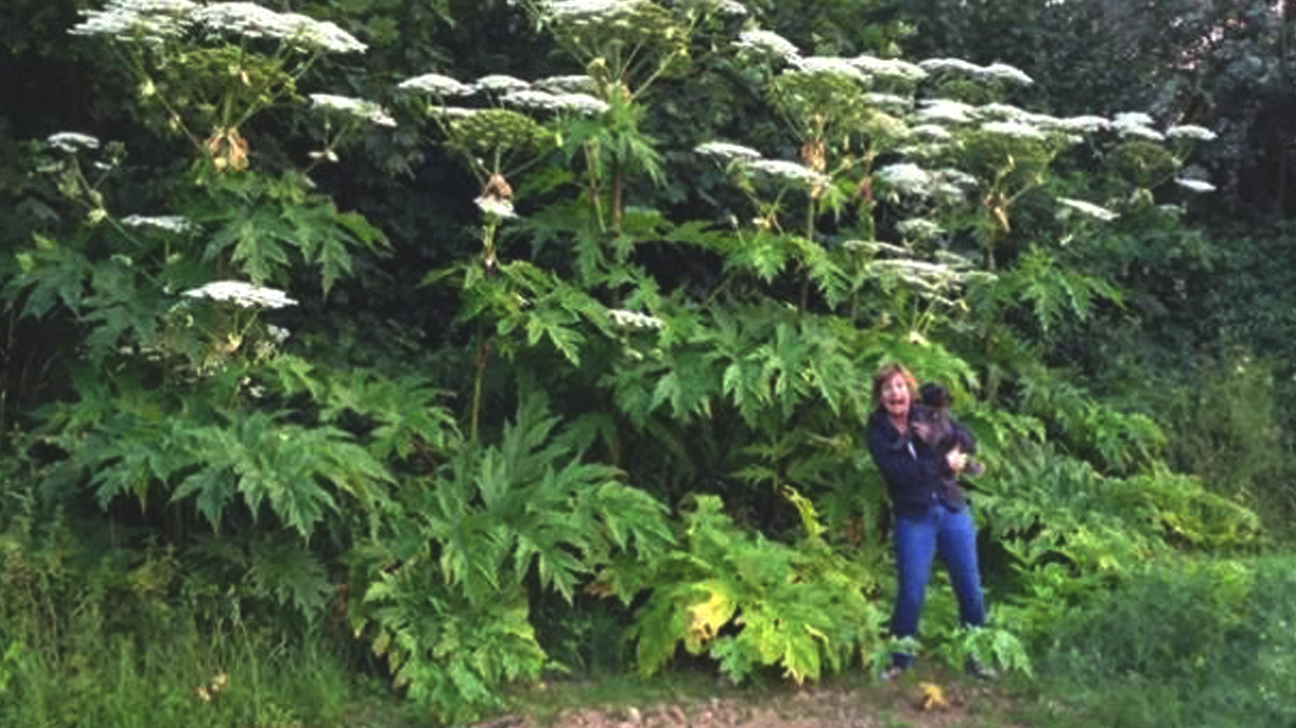 Giant Hogweed Michigan Map.Hogweed Burns How To Avoid Giant Hogweed And Treat Burns