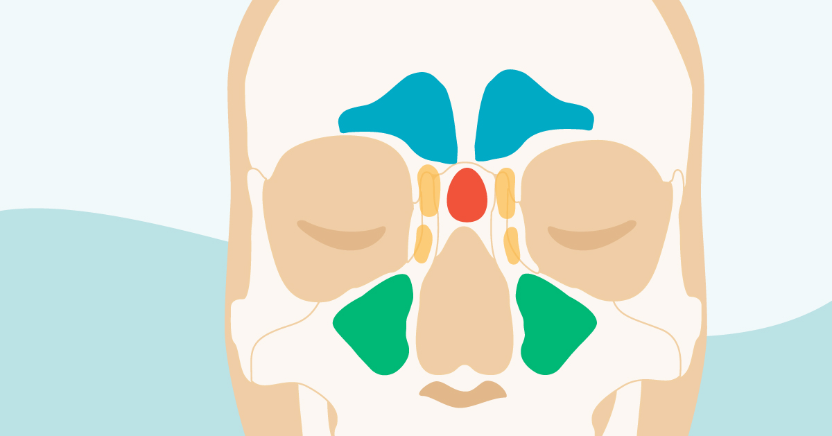 Sinus Cavities In The Head  Anatomy  Diagram  U0026 Pictures