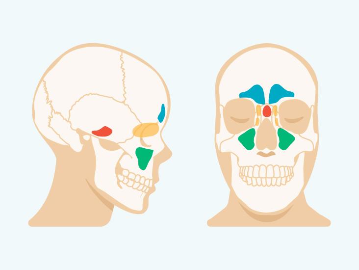 Anatomy Of Sinuses In Head
