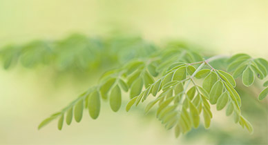 Moringa: Superfood Fact or Fiction?