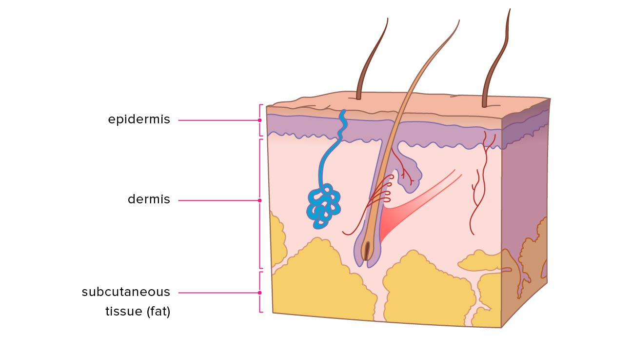 Layers of skin how many diagram model anatomy in order pooptronica Image collections