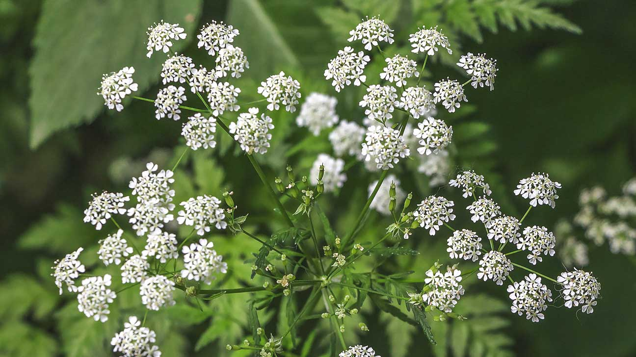 hemlock poisoning