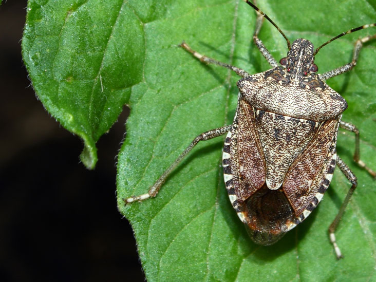 Stink Bugs: Bites, Management, and More