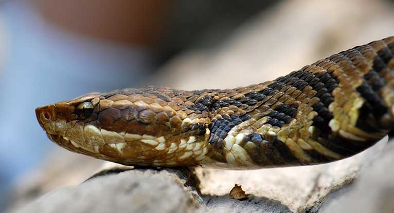 snake bites: types, symptoms, and treatments, Skeleton