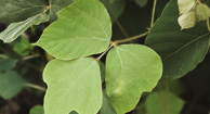 Kudzu: The Cure for Alcoholism?