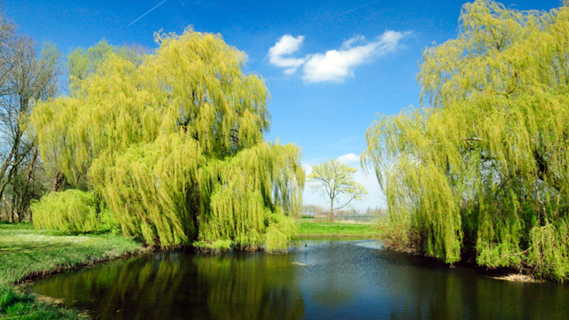 Willow Bark: Nature's Aspirin