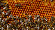 Propolis: An Ancient Healer