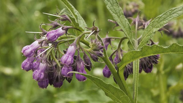 What is Comfrey?