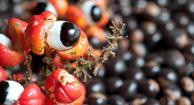 guarana berry