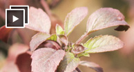 Holy Basil, Batman! 7 Potential Health Benefits