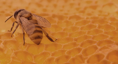 The Benefits and Uses of Propolis