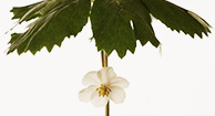 What's the Health Potential of Mayapple?