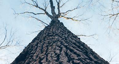 4 Surprising Uses for Slippery Elm Bark