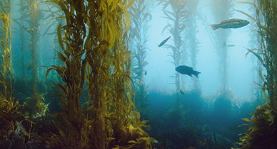 Kelp Benefits: A Health Booster from the Sea