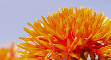 Safflower Oil: A Healthier Cooking Oil