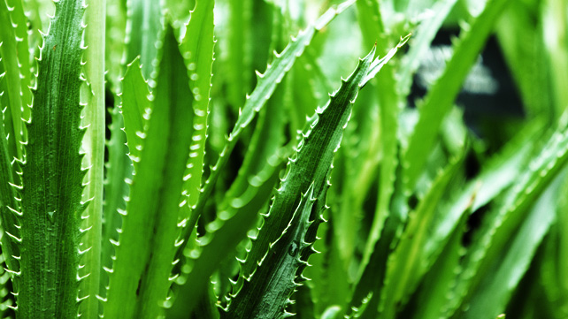 An aloe vera plant can add a lovely touch of green to any office or