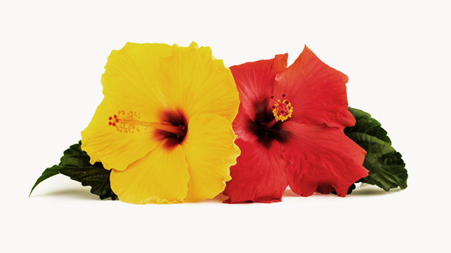 all you need to know about hibiscus, Beautiful flower