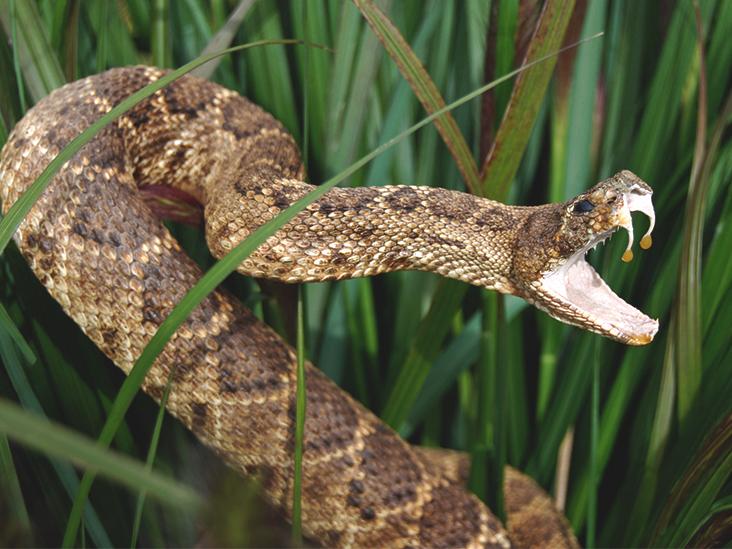 timber rattlesnake bites