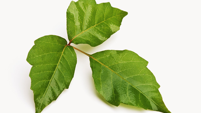 treatment for poison ivy steroids