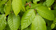 Poison Ivy Rash: Pictures & Remedies