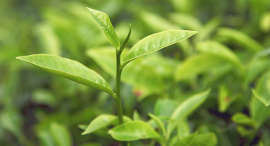 Can Tea Tree Oil Help Your Psoriasis
