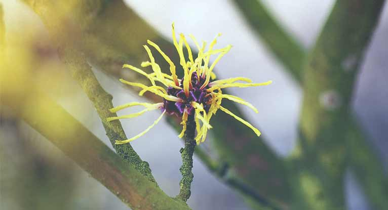 Can Witch Hazel Treat Psoriasis