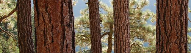Pine Bark
