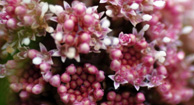 Butterbur for Allergies