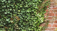 5 Fast Facts About English Ivy