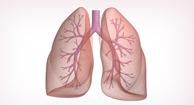 illustration of the lungs