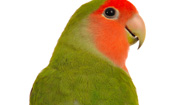 Parrot Fever (Psittacosis)