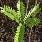 Eurycoma Longifolia