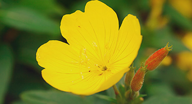 evening primrose oil does it safely induce labor