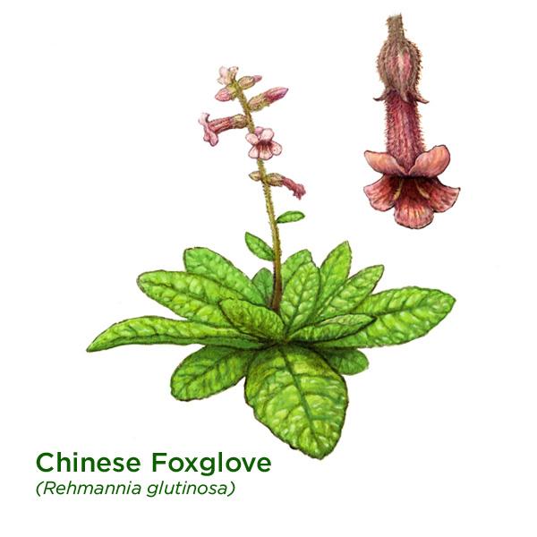Rehmannia or Chinese Foxglove
